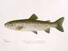 Antique Steelhead Print